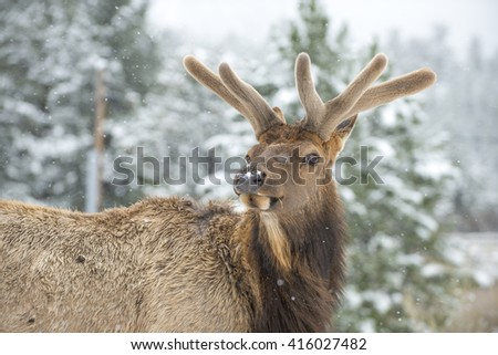 Beautiful bull elk animal mammal with early annual antlers in snow covered forest setting