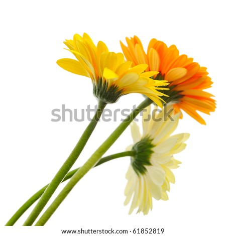 Beautiful bunch of daisy-gerbera flower isolated on the white background - stock photo