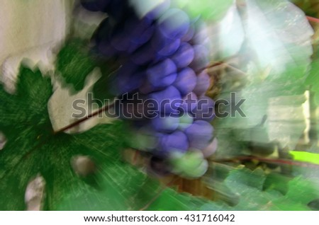 Beautiful bunches of grapes on the vine background, nature with vineyards during the harvest season. Juicy bunch. Rasfokus blurred in motion - stock photo