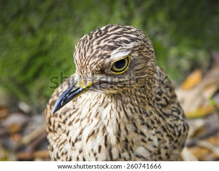 Beautiful Burhinus Capensis with yellow eyes and beak
