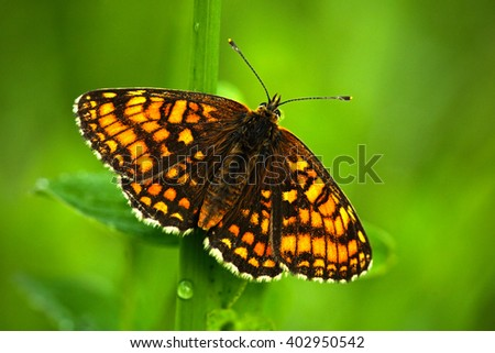 Beautiful butterfly, Heath Fritillary, Melitaea athalia, sitting on the green leaves, insect in the nature habitat, spring in the meadow, European wildlife, Czech republic - stock photo