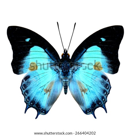 Beautiful butterfly, Indian Nawab upper wing part in natural color with brown spots on wings isolated on white background, soft focus