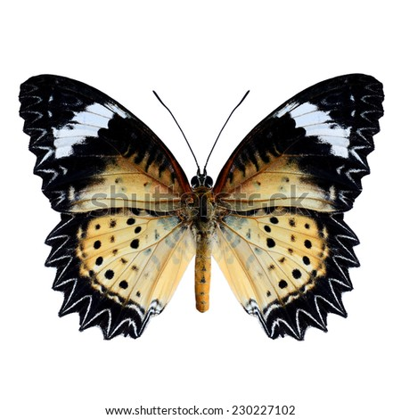 Beautiful butterfly, Malay Lacewing, Leopard Lacewing upper wing profile isolated on white background. - stock photo