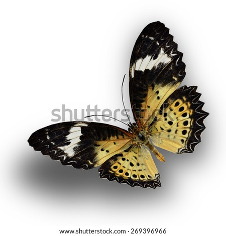 Beautiful butterfly, Malayan Lacewing, female Leopard Lacewing upperwing profile flying up. - stock photo