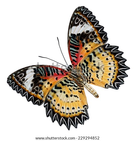 Beautiful butterfly, Malayan Lacewing, Leopard Lacewing butterfly isolated on white background. - stock photo