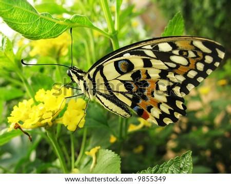Beautiful butterfly on yellow flower - stock photo