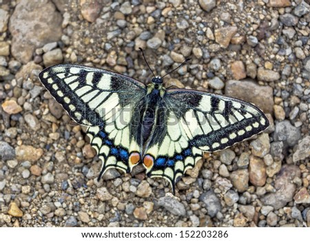 Beautiful butterfly sitting on a trail on the slopes of the volcano Gorely - Kamchatka, Russia - stock photo