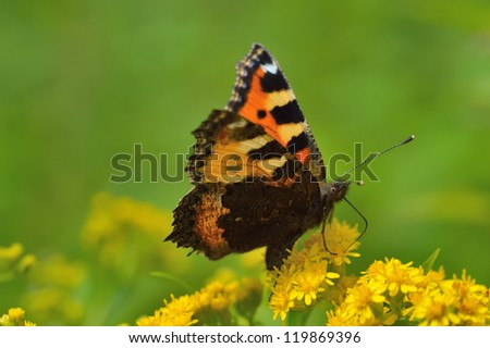 Beautiful butterfly(Vanessa atalanta) sitting on a yellow flower - stock photo