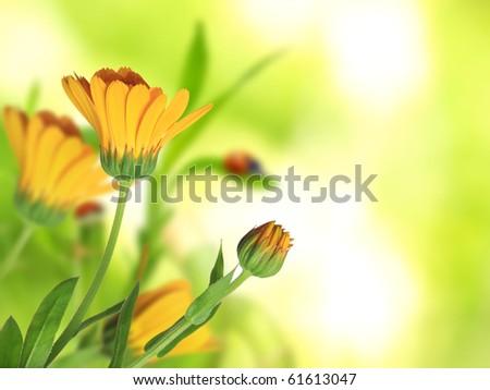 Beautiful Calendula officinalis background - stock photo