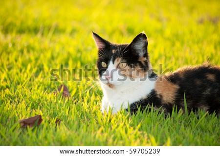 Beautiful calico cat in grass in bright sunshine - stock photo
