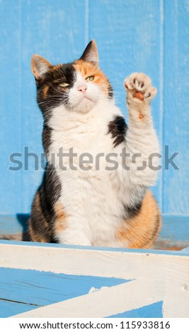 Beautiful calico cat playing with her paw in the air, against a blue barn - stock photo