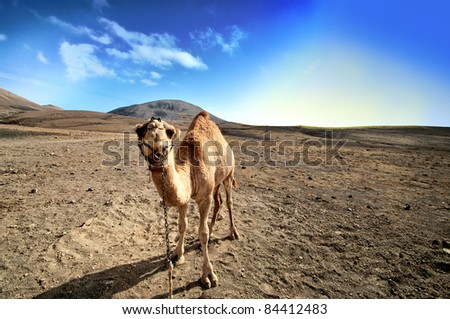 beautiful camel in the Canarian island, Lanzarote - stock photo