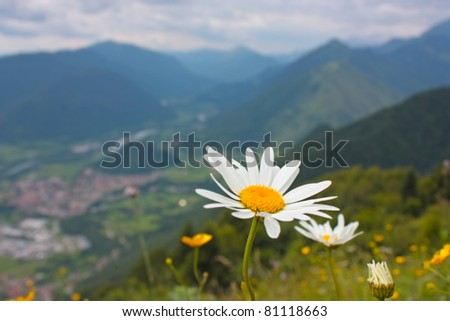 Beautiful camomile in Alps, Slovenia - stock photo