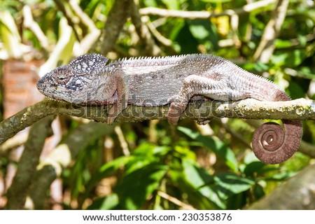 Beautiful camouflaged chameleon in Madagascar, presumably the Oustalets or Malagasy giant chameleon (Furcifer oustaleti) - stock photo