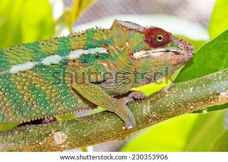 Beautiful camouflaged chameleon in Madagascar, presumably the panther chameleon (Furcifer pardalis)  - stock photo