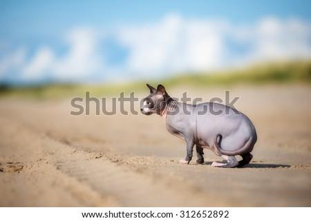 beautiful canadian sphynx cat on the beach - stock photo