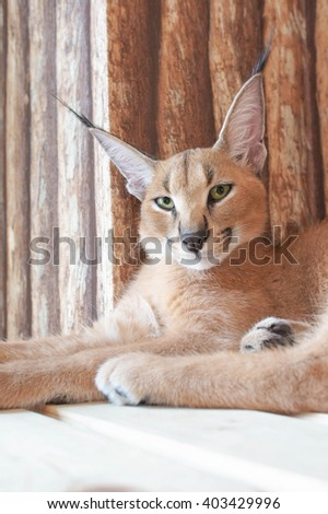 Beautiful caracal or African lynx with long tufted ears (wild animal, desert cat), with bright sweet pastel filter - stock photo