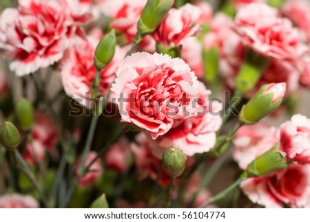 Beautiful carnation flowers or pinks in the flowerbed - stock photo