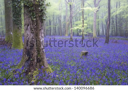 Beautiful carpet of bluebell flowers in misty Spring forest landscape - stock photo