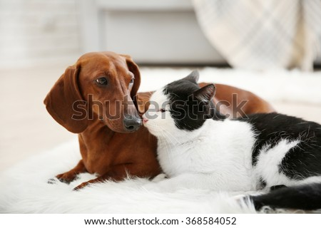 Beautiful cat and dachshund dog on rug, indoor - stock photo