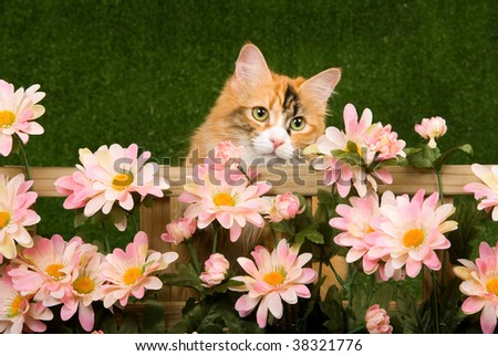 Beautiful cat behind trellis with pink daisies flowers