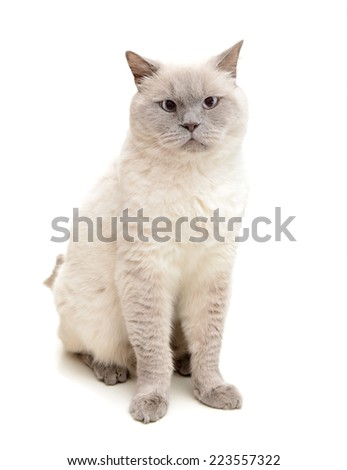 beautiful cat, British Shorthair, on a white background