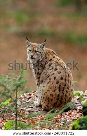 Beautiful cat Eurasian Lynx sitting on the rock - stock photo