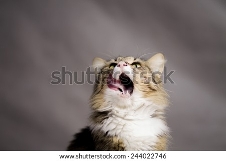 beautiful cat looking up and licked - stock photo