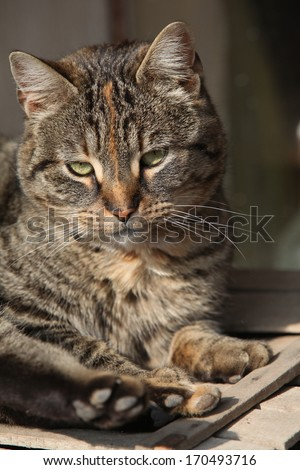 Beautiful cat lying and looking directly at you - stock photo