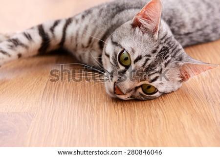 Beautiful cat lying on floor close-up - stock photo