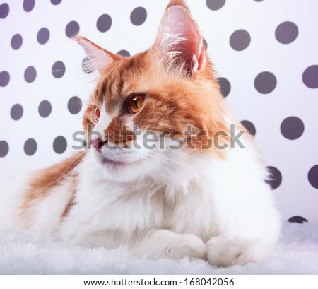 Beautiful cat Maine Coon is isolated on a black and white background. - stock photo