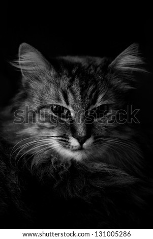 beautiful cat portrait in black and white - stock photo
