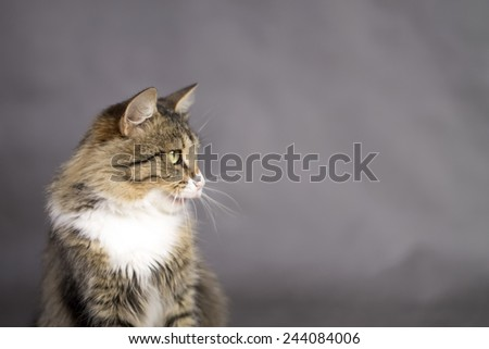 beautiful cat with an open mouth licked and looking away - stock photo