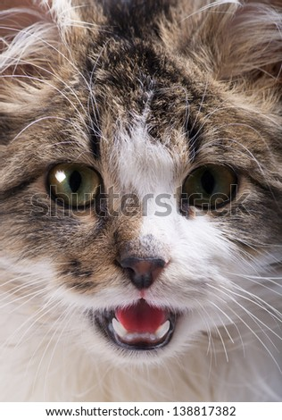 beautiful cat with green eyes and open mouth close up