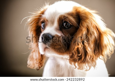 Beautiful cavalier king charles spaniel - stock photo