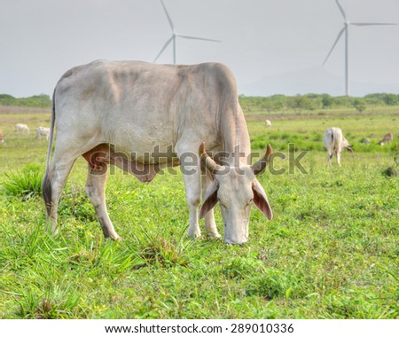 Beautiful Cebu female eating grass in a pasture field in Panama - stock photo