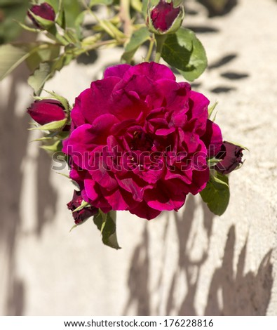 Beautiful  cerise pink heritage rose species in glorious late summer bloom against a concrete rendered wall  adds scented beauty to a suburban landscape. - stock photo