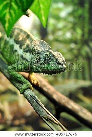 Beautiful chameleon in the zoo on the branch