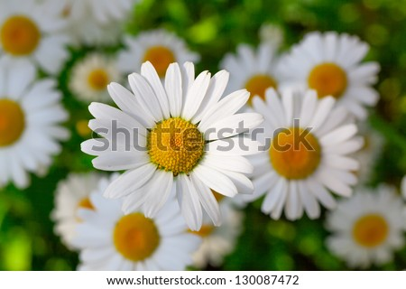 Beautiful chamomile flowers close-up - stock photo