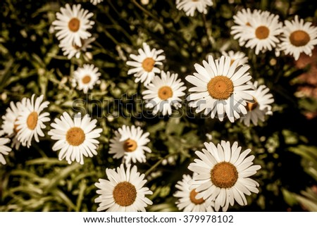 Beautiful chamomile flowers with the leaves in the sunshine, vintage retro hipster image with summer bloom. Spring flowers