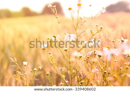 Beautiful chamomiles - stock photo