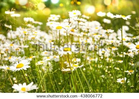 Beautiful chamomiles field at the sun. - stock photo