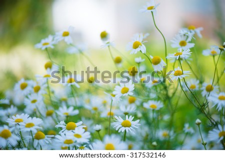 Beautiful chamomiles field at the sun, shallow depth of field - stock photo