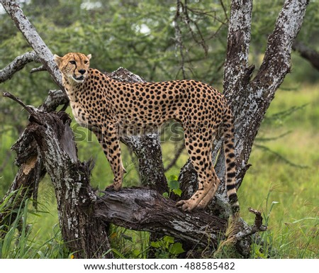 Beautiful Cheetah posing on tree at Serengeti Wet season