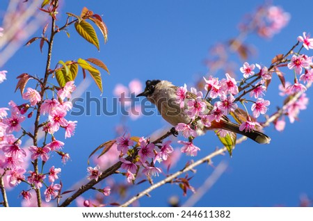 Beautiful cherry blossom and a yellow bird in the northern of Thailand - stock photo
