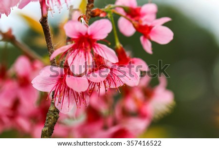 Beautiful cherry blossom,pink flower