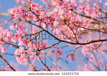 Beautiful Cherry blossom , pink sakura flower - stock photo