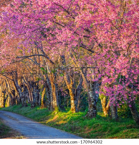 Beautiful cherry blossom road in tropical forest, Chiang Mai, Thailand  - stock photo