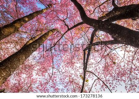 Beautiful cherry blossom sakura flowers - stock photo