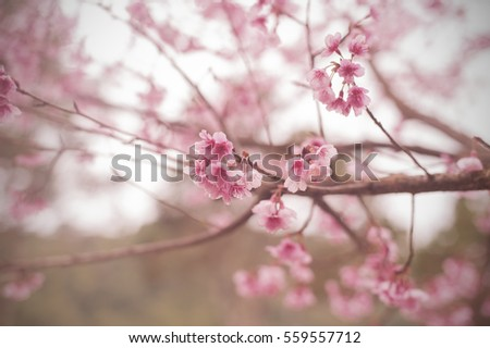 Beautiful cherry blossom sakura flowers soft and blurred background.